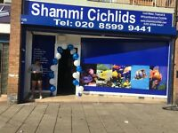 Shammi Cichlids. Tropical fish, cold water fish, Malawi, cichlids, discus, arowana