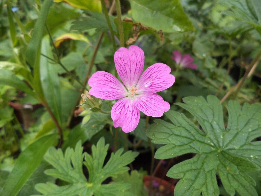 Wild Geranium Pink Flower Plants In A 105 Cm Pot In North