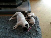2 x Pug puppies (male and female)