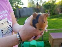 2x FEMALE BABY GUINEA PIGS FREE TO GOOD HOME.
