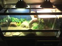 Bearded dragon reptile for sale with terrarium/tank/vivarium and accessories