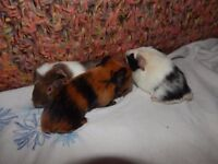 GUINEA PIGS BEING RESERVED