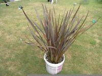 Large Black Adder Phormium / New Zealand Flax Weymouth