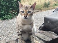 Missing Cat, YO26 Snow Bengal