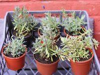lavenders, 6 pots for £5