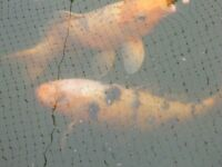 3 Large Orange Koi Pond Fish (priced as a group)