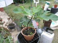10 Plants For £10 Incl Fig Tree, Rosemary, Hebe, Buddlia, Fuscia etc etc Weymouth