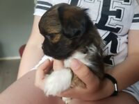 Male Lhasa Apso Puppy