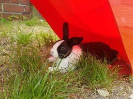 13 week old rabbit