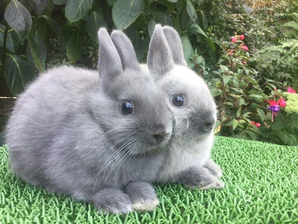 2 baby netherland dwarf rabbits for sale sold in southport merseyside gumtree. Black Bedroom Furniture Sets. Home Design Ideas