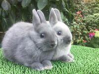 2 baby Netherland Dwarf Rabbits for sale