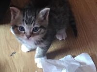 Brown black and white tabby kittens