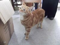 Lovely male ginger tabby, free to good home