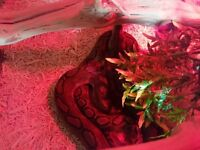 reticulated python 10 months old female puppy dog tame full setup urgent sell