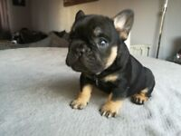 French Bulldog pup for sale KC reg