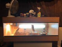 Bearded dragon & full 4ft Vivarium set up