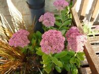 Stunning Sedum Autumn Joy