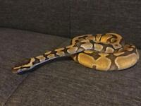 Super Enchi Royal Python