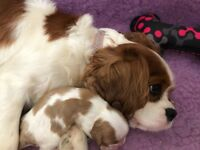 Cavalier King Charles kc dna health tested champion lines