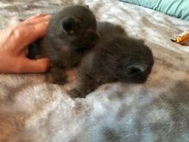 Two girl kittens blue with blue eyes and fluffy reassy to go in two weeks
