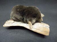 TAXIDERMY MOLE no. 59 crawling on drift wood mount.