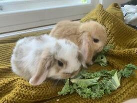 Pure bred miniature lop bunnies