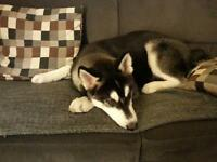 Amazing Siberian Husky Puppy