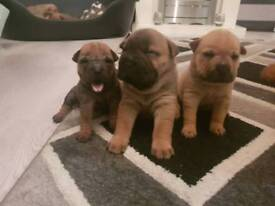 100% shar pei puppies for sale