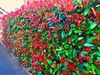 Photinia Red Robin evergreen hedging.