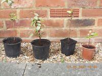 Eleagnes Garden Shrub Plant