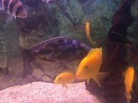 Large male livingstonii cichlid £40
