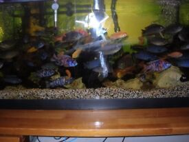 BLUE Malawi fish for sale