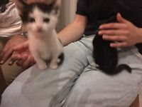 LOVELY TABBY KITTENS LOOKING FOR A NEW HOME