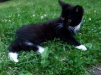 Lovely black female kitten