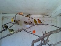canarys lizards x 15 25 pound each selling up