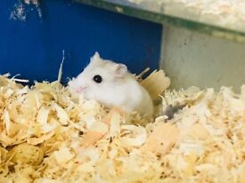Baby Winter white hamsters