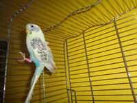 BABY MALE BUDGIE & cage