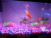 Free 10 fancy gold fish