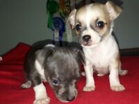 Beautiful chihuahua puppies for sale