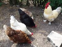 Family of PET rooster and chickens looking for a new home (8 birds and coop)