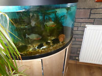 RED BELLY PIRANHA X6 MEDIUM SIZE ALL EATING/GROWING £150