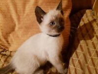 Beautiful Siamese kittens for sale