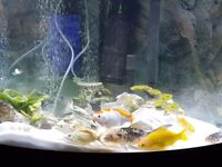 Aquarium/Pond Fish Koi Butterfly and Gold Fish