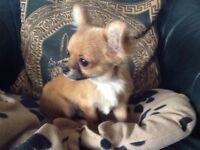 Petite miniture little chihuahua Teacup little boy 6 months REDUCED to £450