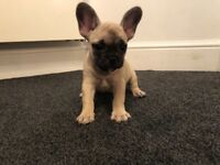3 gorgeous French bulldog puppies 1 Fawn girl, 1 brindle girl & 1 brindle boy