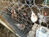 8 laying hens free to good home
