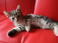 Mixed bengal marble kitten boy for sale