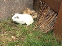 Two baby male guinea pigs £10 for the pair