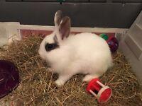Baby Netherland Dwarf rabbit - Fluffy White