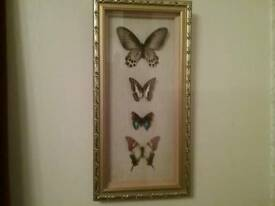 Real butterflies framed